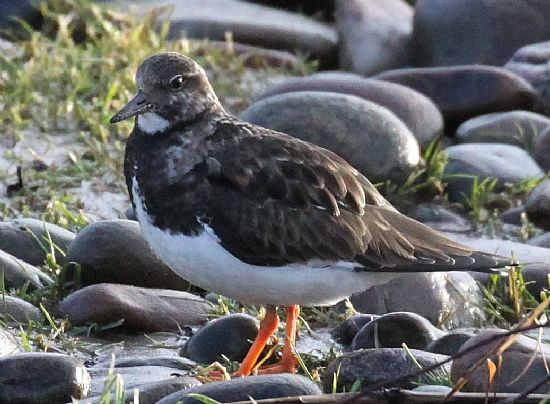 scottish birds. turnstones – anenaria interpres