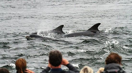 dolphins being photographed from chanonry point