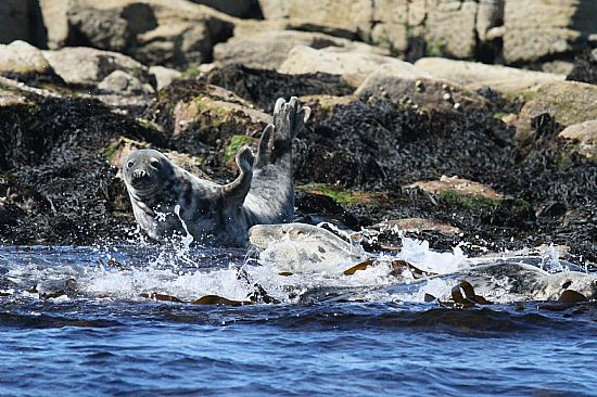 both grey and the not so common, common seals are to be found in the moray firth