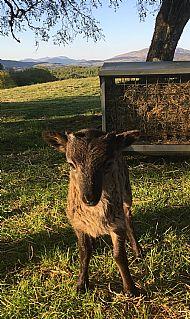 Single Lamb Tup