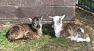 May Twins - Ewe Lambs