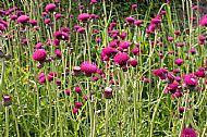 Summer thistles in the walled garden, Clan Donald Skye