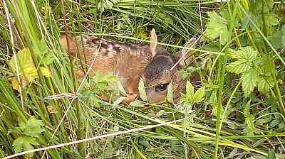 young roe deer hiding in the grass at airds bay, taynuilt, nr oban, selft catering holiday let accommodation.