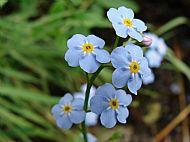 Wildflower, Stablelake.