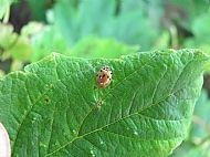 Ten Spot Ladybird