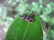 Harlequin larvae