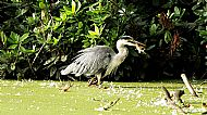 Commended 2019: Heron With Breakfast