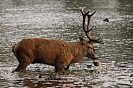Hungry Stag
