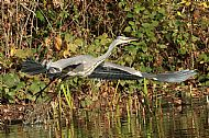 A Heron taking off on Raleigh Pond