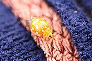 This Orange Ladybird
