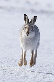 1st  Prize 2020: Mountain Hare