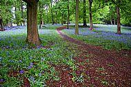 Bluebell Wood, Wollaton Park