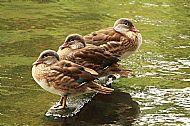 Mandarin Ducklings