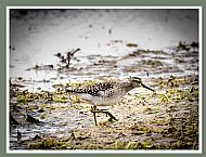 Highly Commended: Wood Sandpiper Feeding