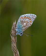 Highly Commended: Common Blue