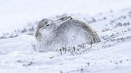 3rd Prize: Mountain Hare