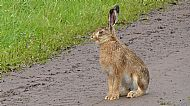 Highly Commended 2018: Brown Hare