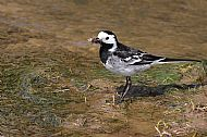 3rd Prize 2018: Pied Wagtail