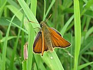 Highly Commended 2019: Male Small Skipper plus Egg