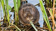 Highly Commended 2018: Water Vole