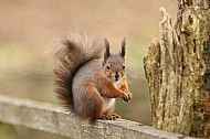 Highly Commended 2017: Red Squirrel in winter coat
