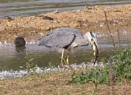 Heron swollowing Tench