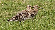 Curlews, Beeley Moor