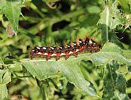 Knotgrass Moth Caterpillar