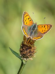 Highly Commended 2019: Small Copper