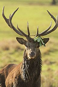 Stag with decoration