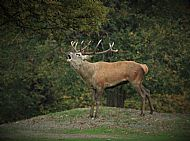 Stag defending his territory