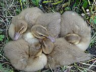 A huddle of ducklings