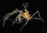 Macropodia sp.