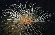 Pachycerianthus multiplicatus