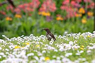 Thrush in the daisies