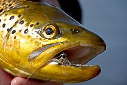 loch eye brown trout, head