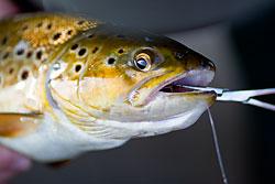 loch eye brown trout