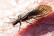 alder fly, loch eye