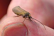 cassis fly, loch eye