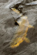 loch eye boat fishing, brown trout sub surface