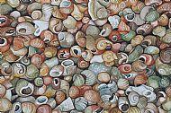 Breck Shoreline Shells
