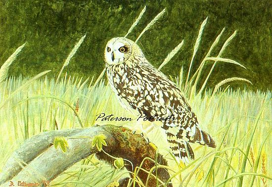 short eared owl painting by david paterson