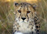 Cheetah, Okonjima