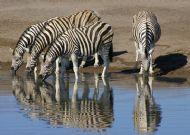 Burchill's Zebra, Etosha