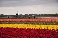 Tulip cultivation between the towns of Egmond and Bergen south of Alkmaar
