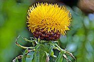 Giant Knapweed