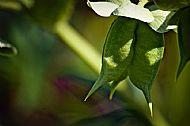 Helleborus-foetidus