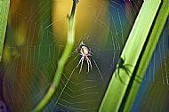 Field Spider