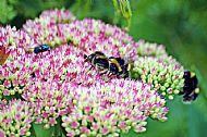 Bluebottle & Bumblebees