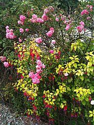 Fuchsia and Roses